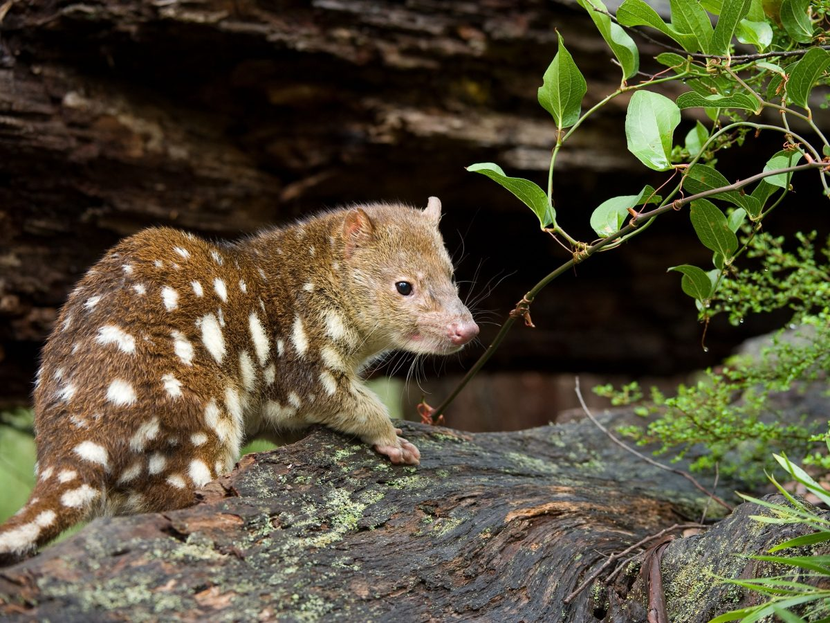 A spotted-tailed quoll