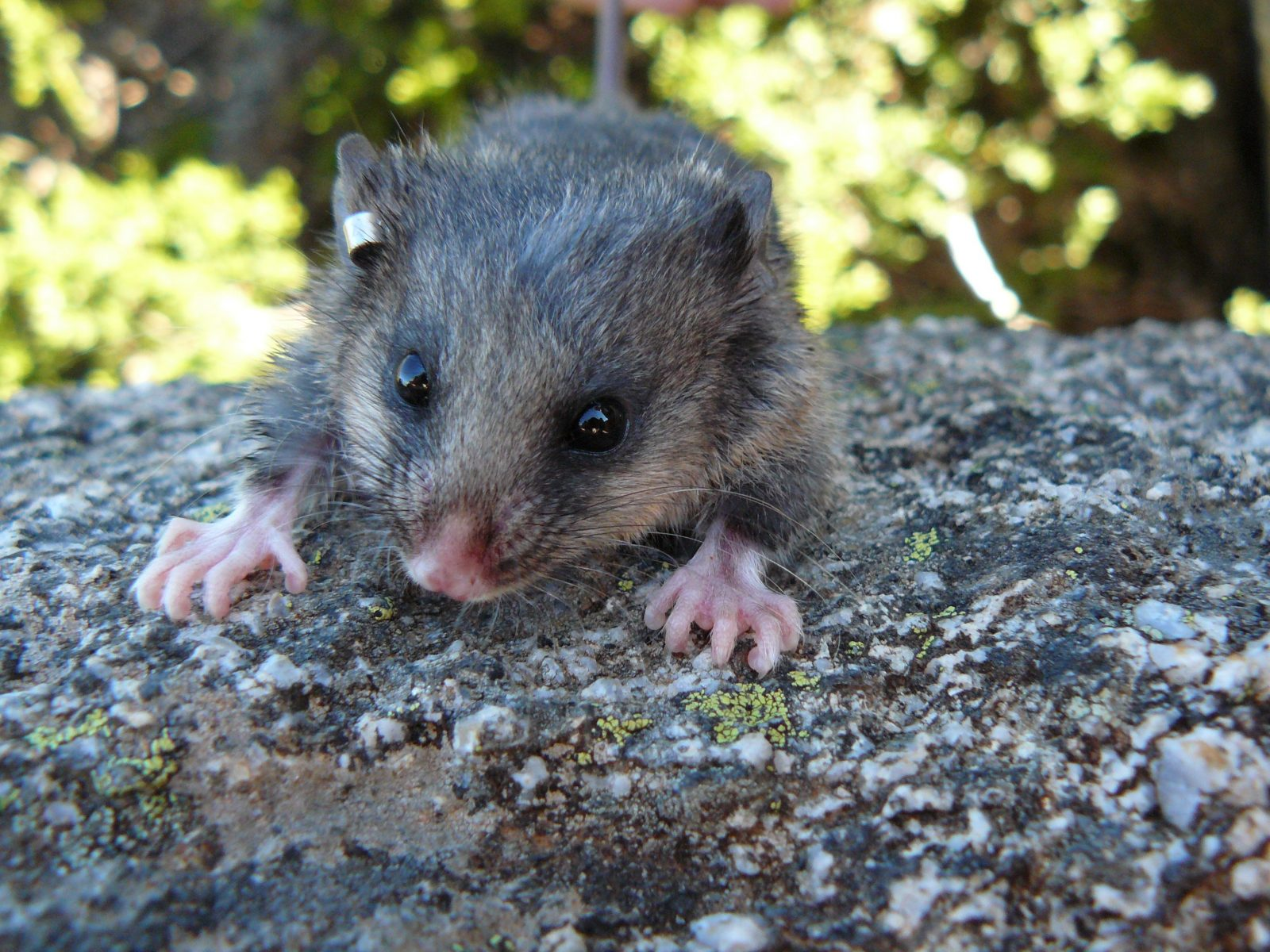 Mountain pygmy-possum with tagged ear