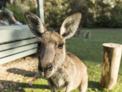 Eastern grey kangaroo close up at Depot Beach in Murramarang National Park. Photo: David Finnegan/OEH