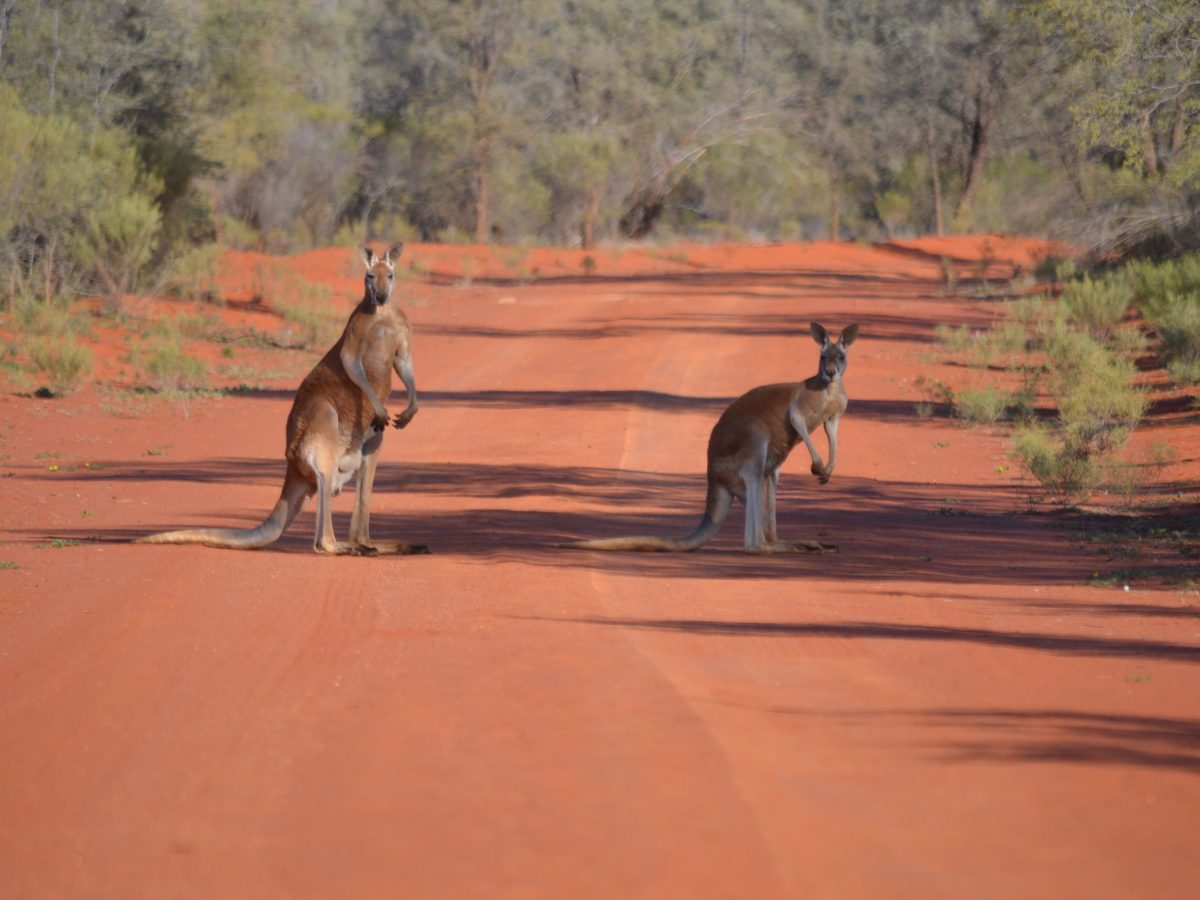 Red kangaroos on red dirt track, outback NSW
