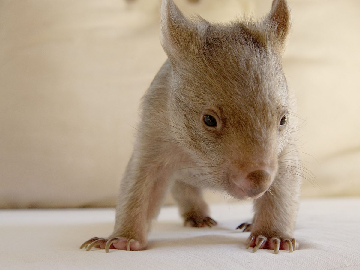 A juvenile common wombat