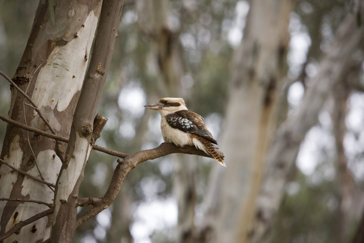 A kookaburra perched on a tree branch