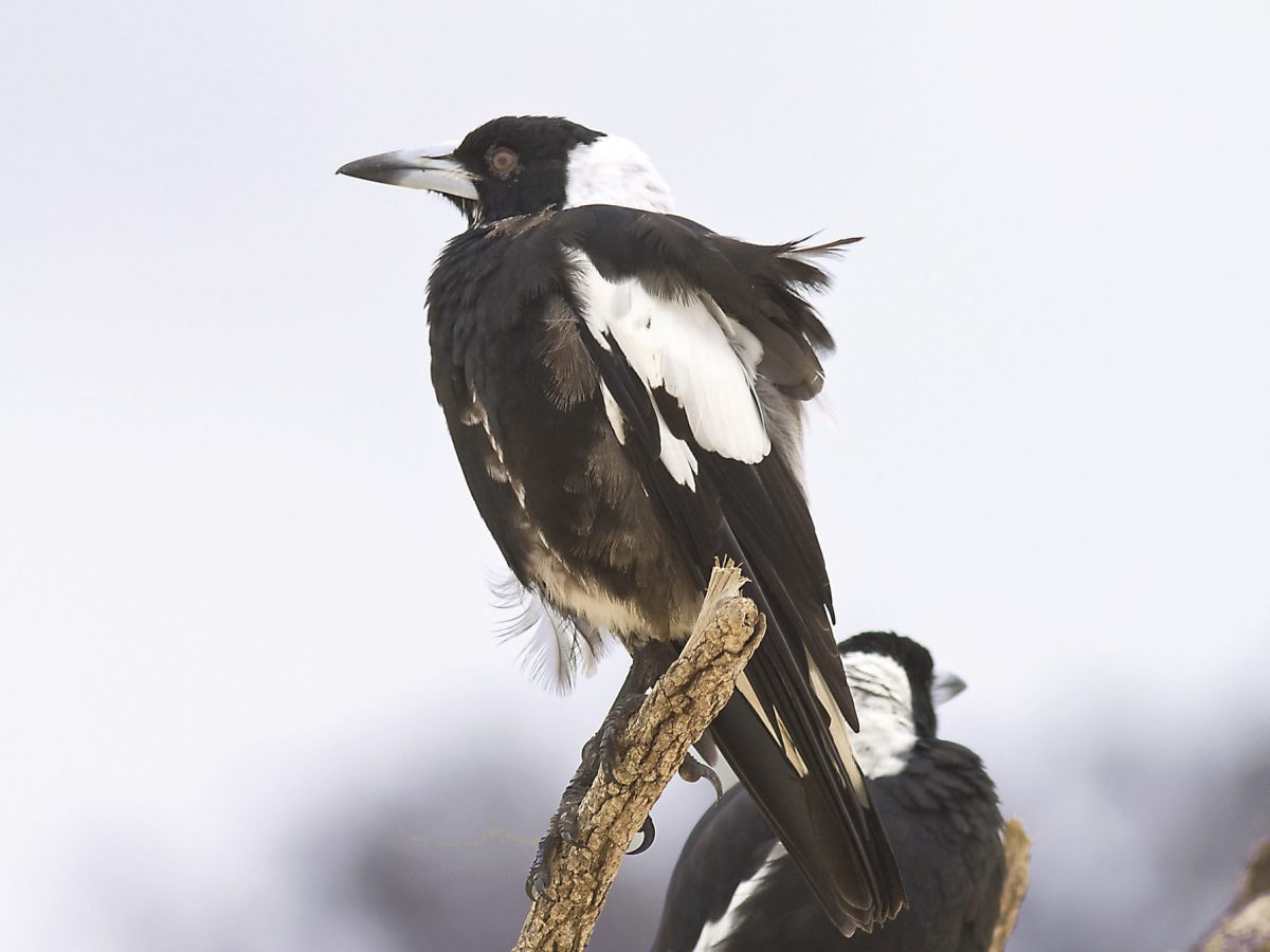 Pair of magpies on tree branch