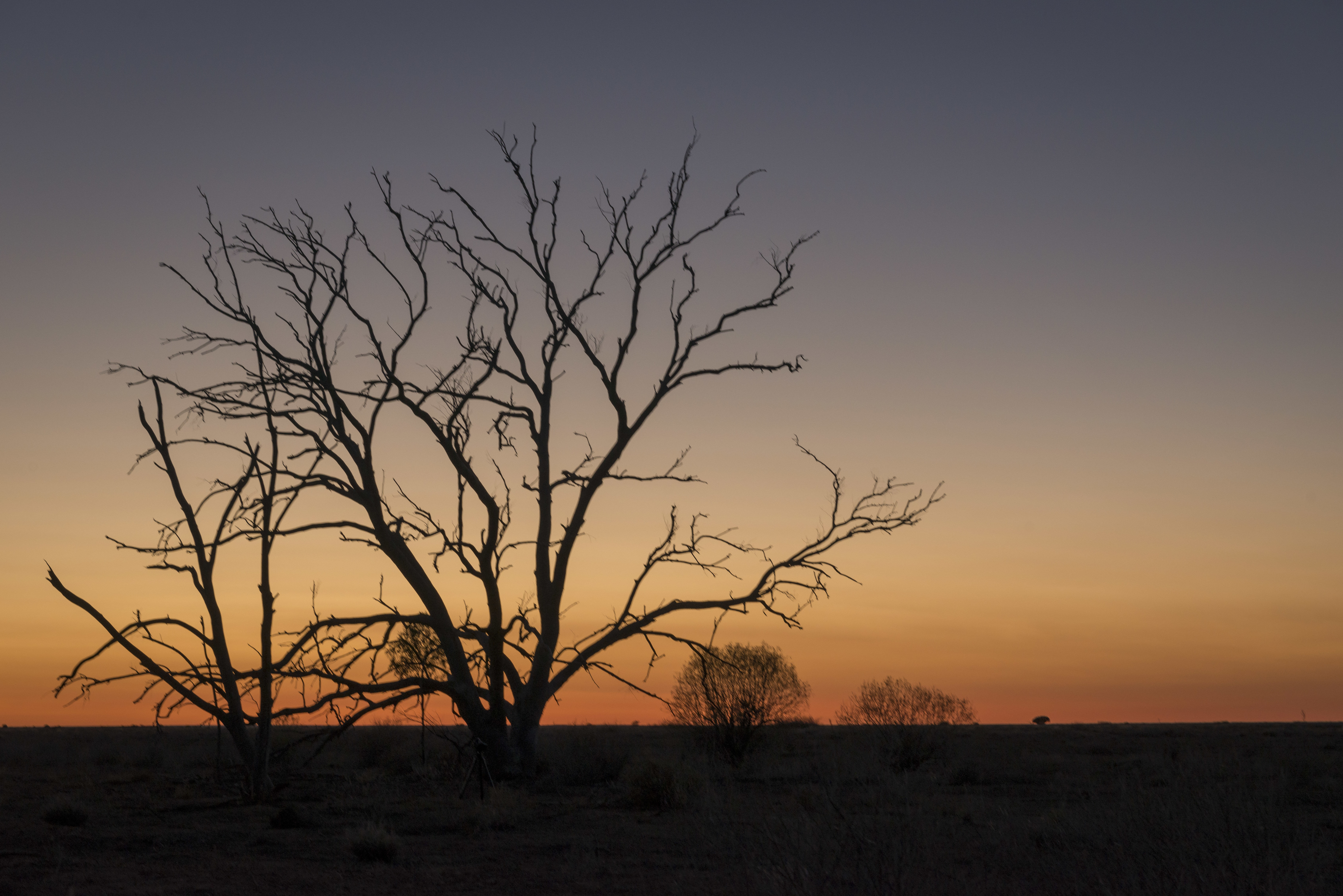 Tree silhouette at sunset in outback, Sturt National Park