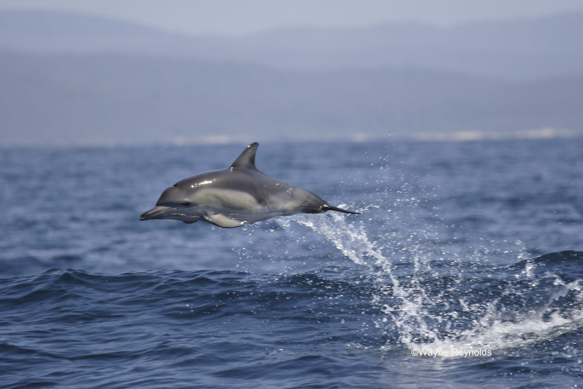 Common dolphin jumping out of the water. Photo: Wayne Reynolds/DPIE
