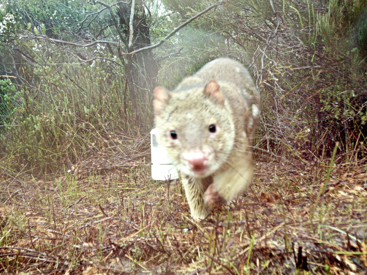 Spotted tail quoll close up