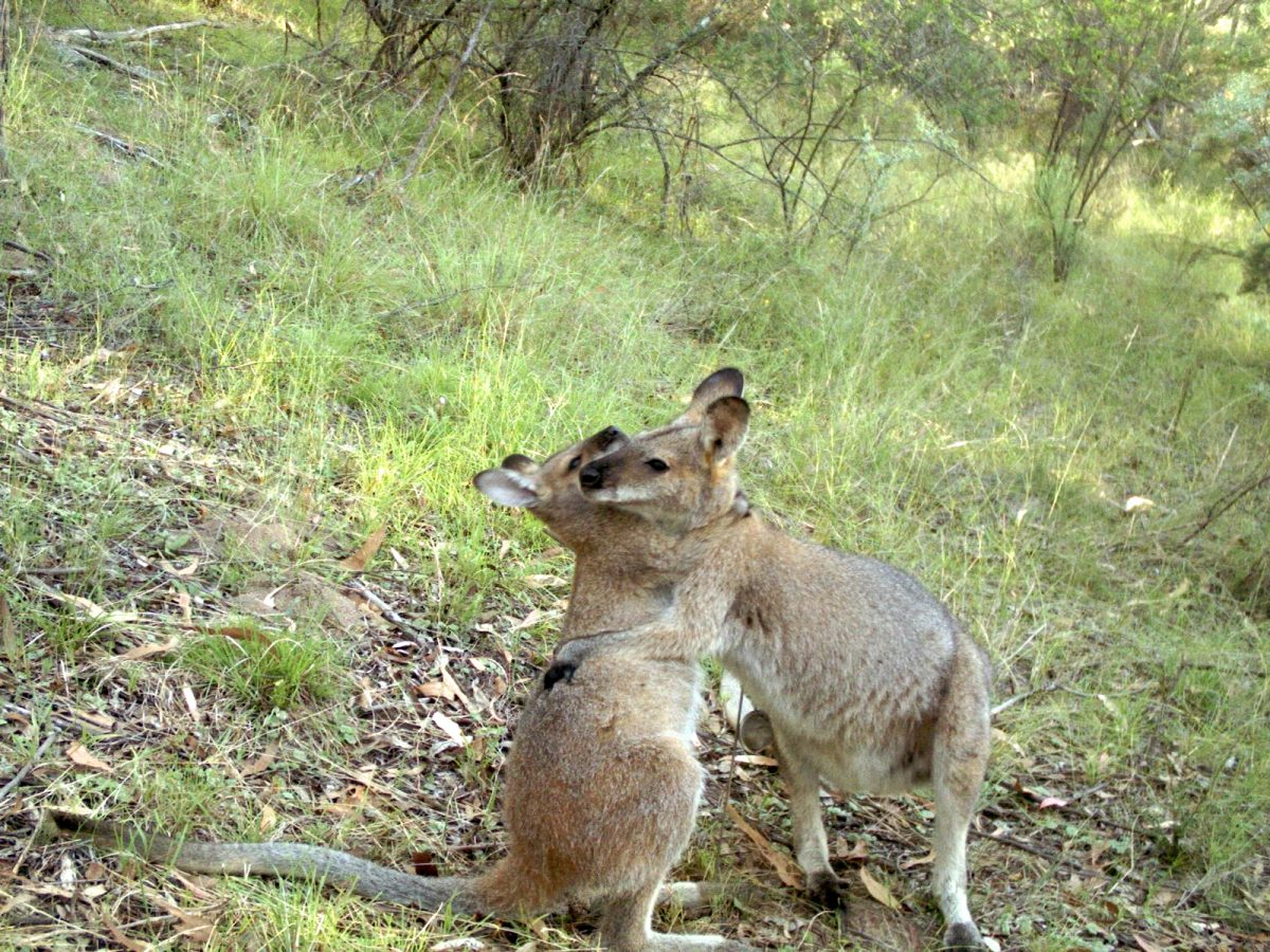 Red necked wallabies wrestling in bush