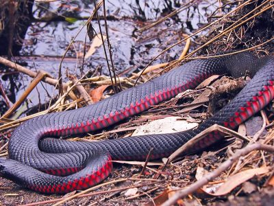 A red-bellied black snake in Royal National Park Australia