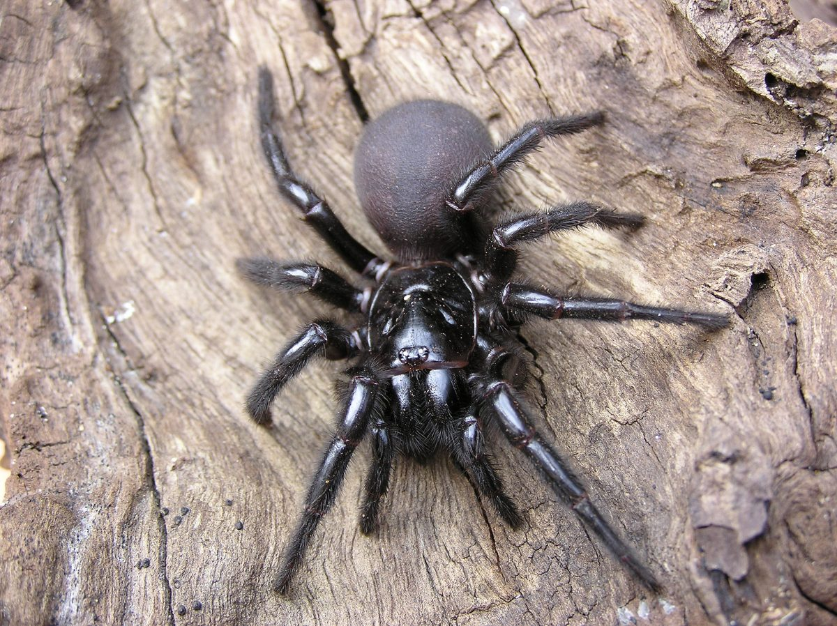 Funnel-web spider on a tree
