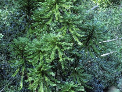 Wollemi Pine – an Australian botanical icon