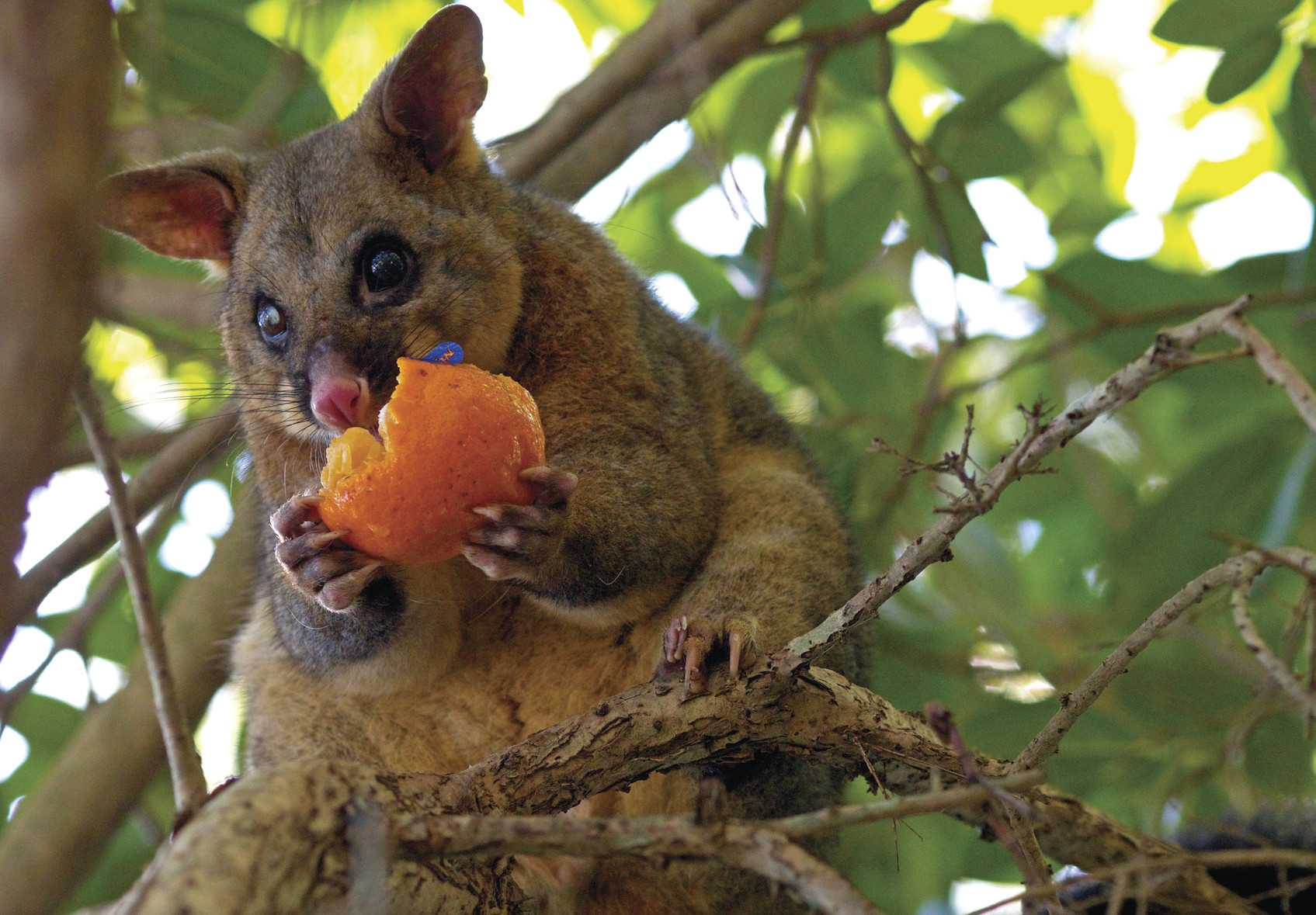 Brushtail possum eating fruit in a tree. Photo: Vanessa Duncan/OEH