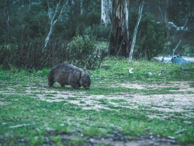 Wombat in Kosciuszko National Park