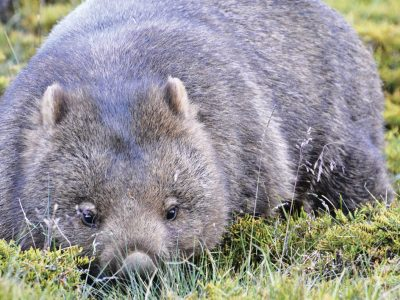 The Australian common wombat. Photo: Sharon Wormleaton/OEH