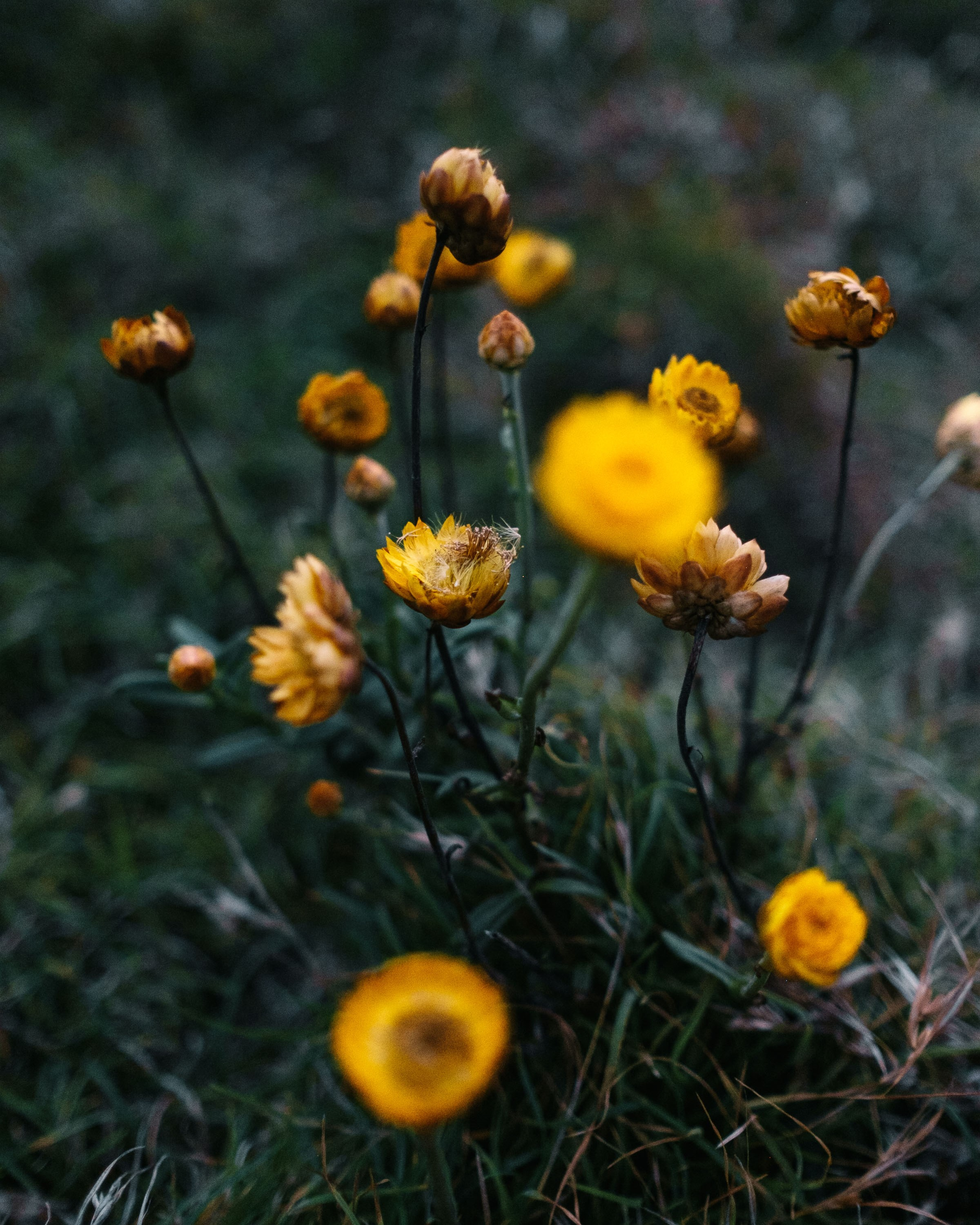 The Golden Everlasting flower (Xerochrysum bracteatum). Photo: Noah Strammbach