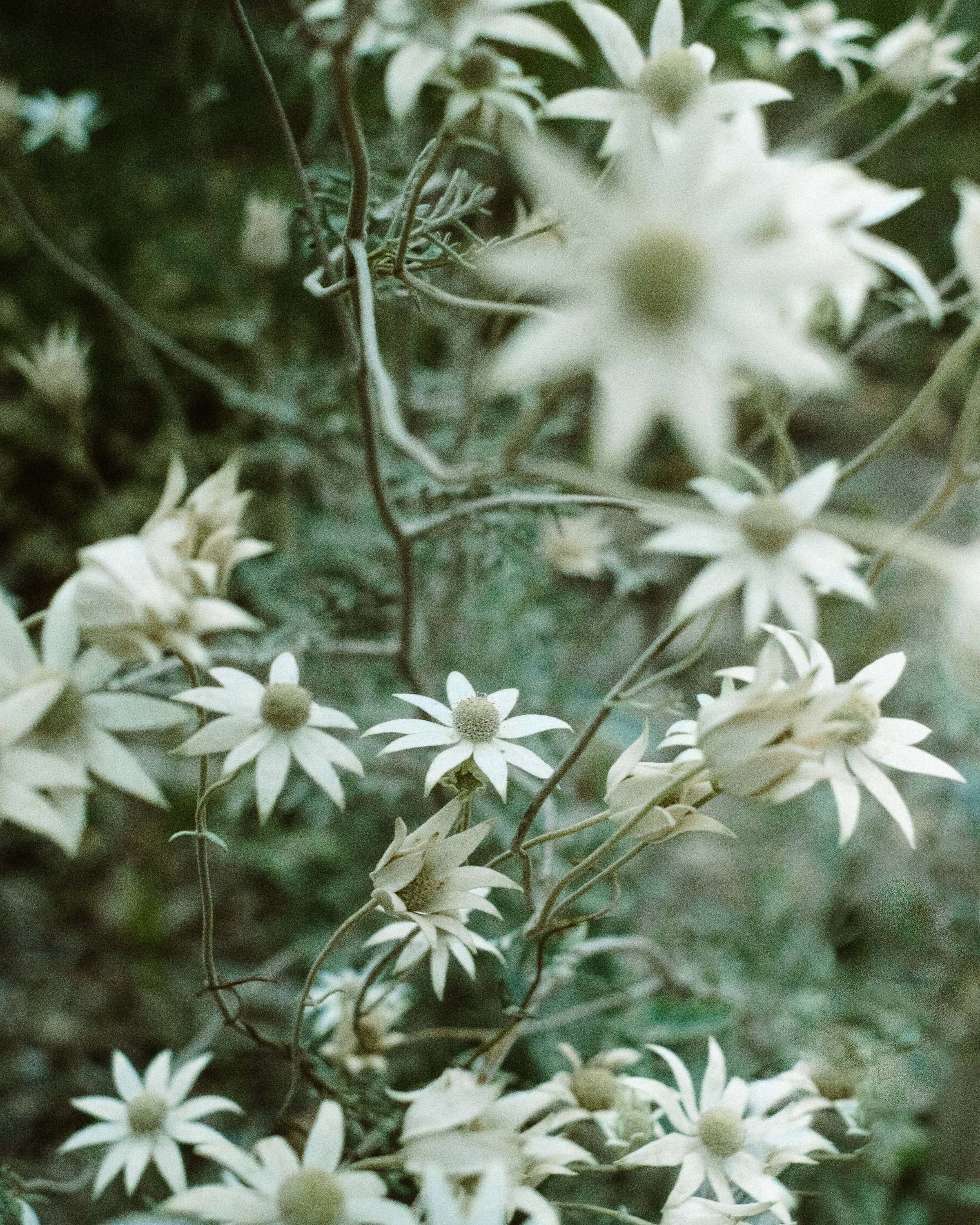 The native Australian flannel flower. Photo: Noah Strammbach