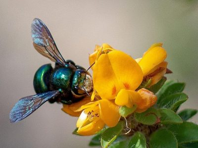 The native Peacock Carpenter Bee on a pretty Yellow Bush Pea. Photo: Deb Alcock