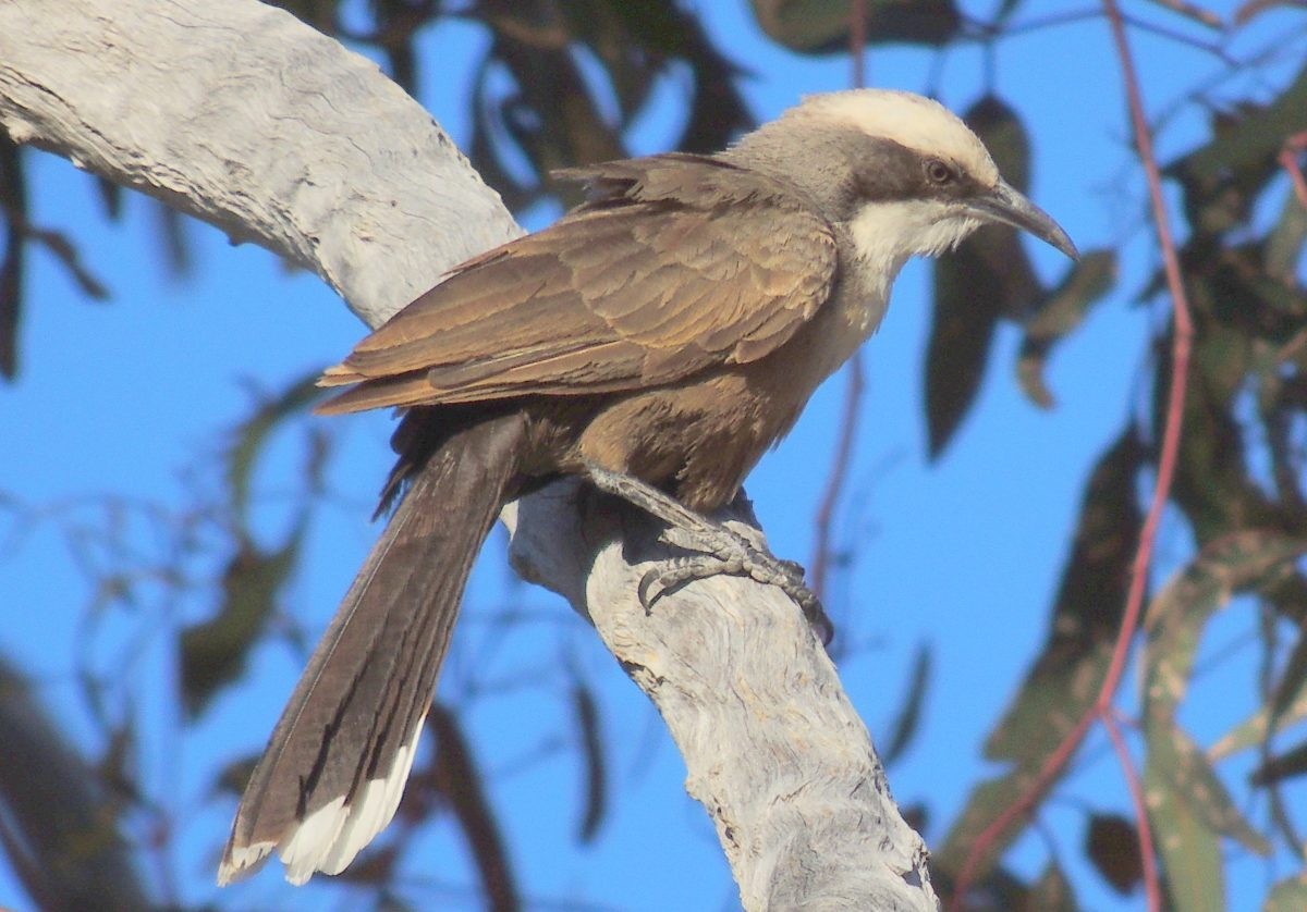 Grey-crowned babbler. Photo: Justin Mallee/OEH