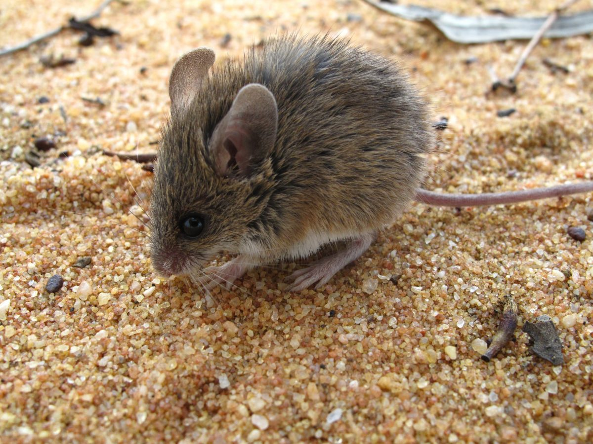 Pilliga Mouse, Pilliga. Photo: Justin Mallee/OEH
