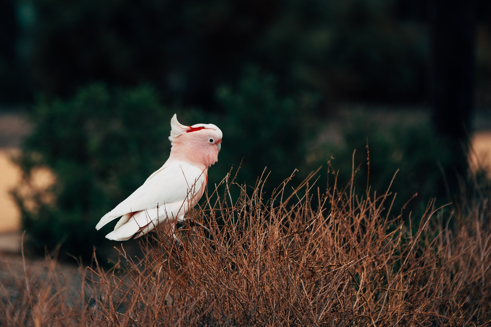 Major Mitchell's cockatoo at Mungo National Park. Photo: Melissa Findley/OEH