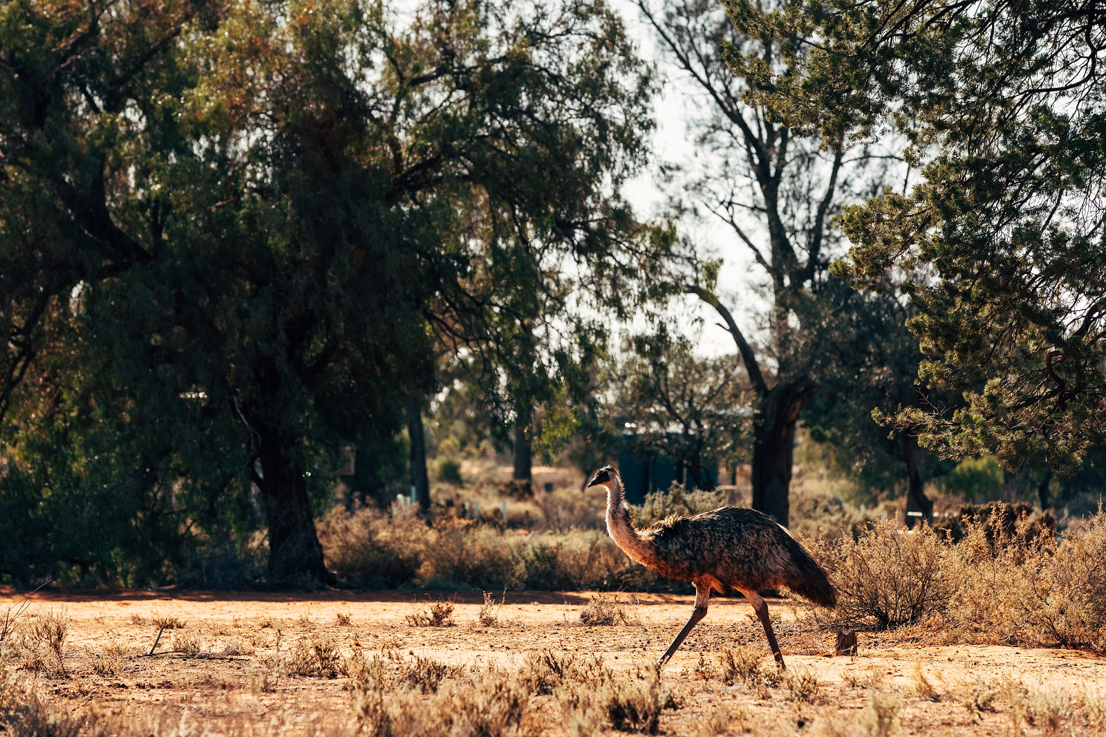 Emu in Mungo National Park