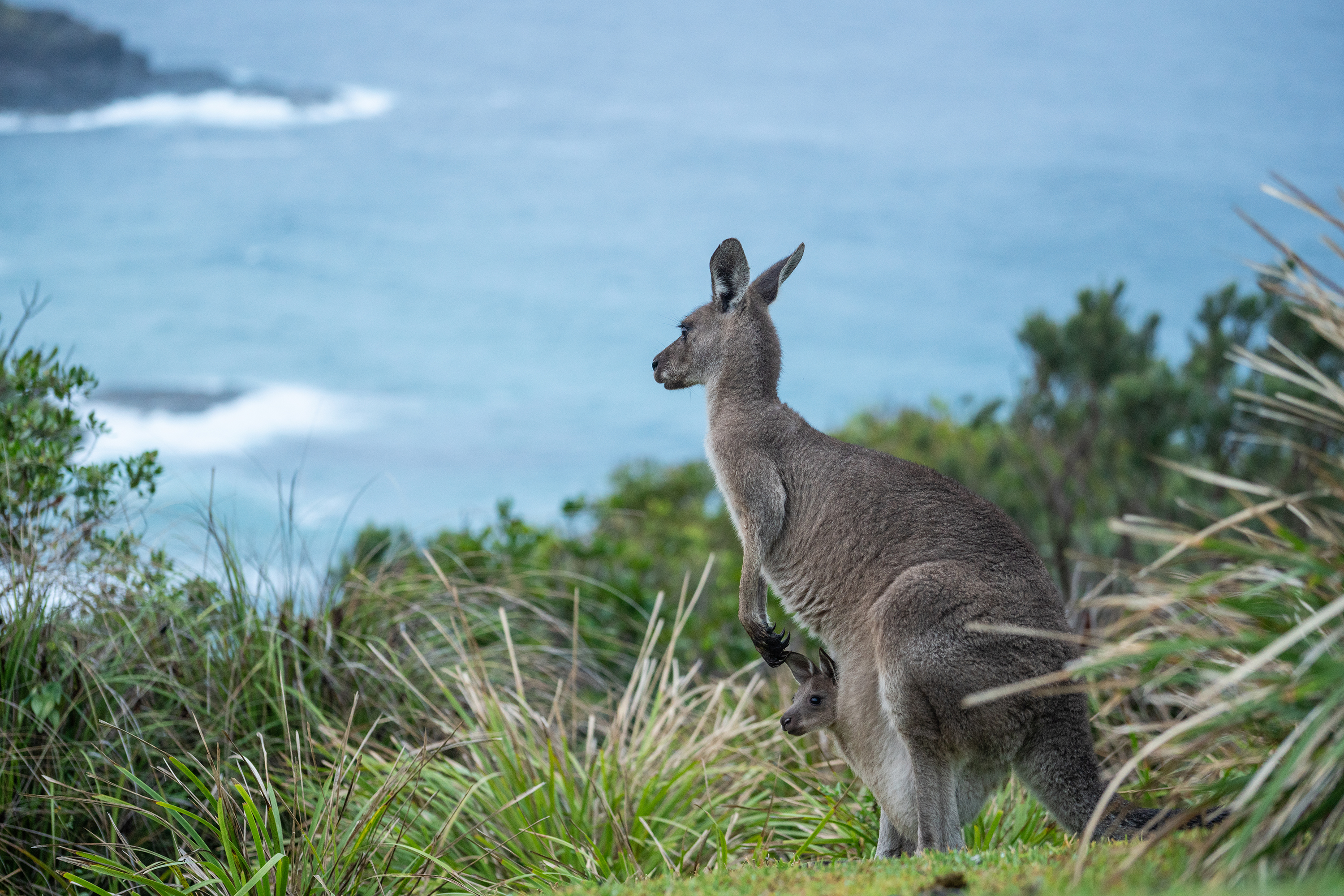 Kangaroo with joey in Hat Head National Park. Photo: Rob Mulally/DPIE
