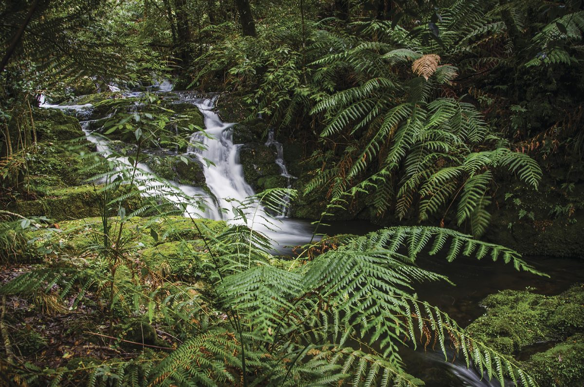 Antarctic Beech Forest walking track, Barrington Tops National Park