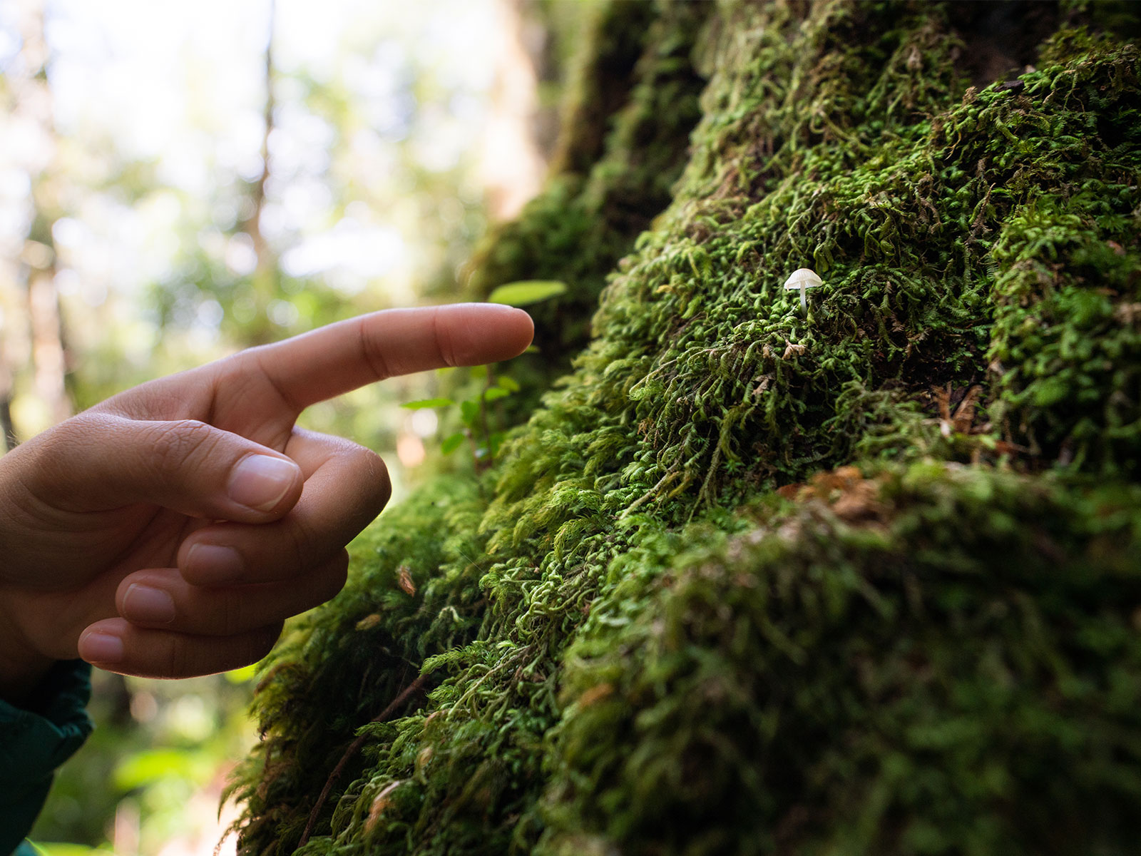 Person pointing at a small mushroom on a tree, Werrikimbe National Park. Photo: Rob Mulally/DPIE