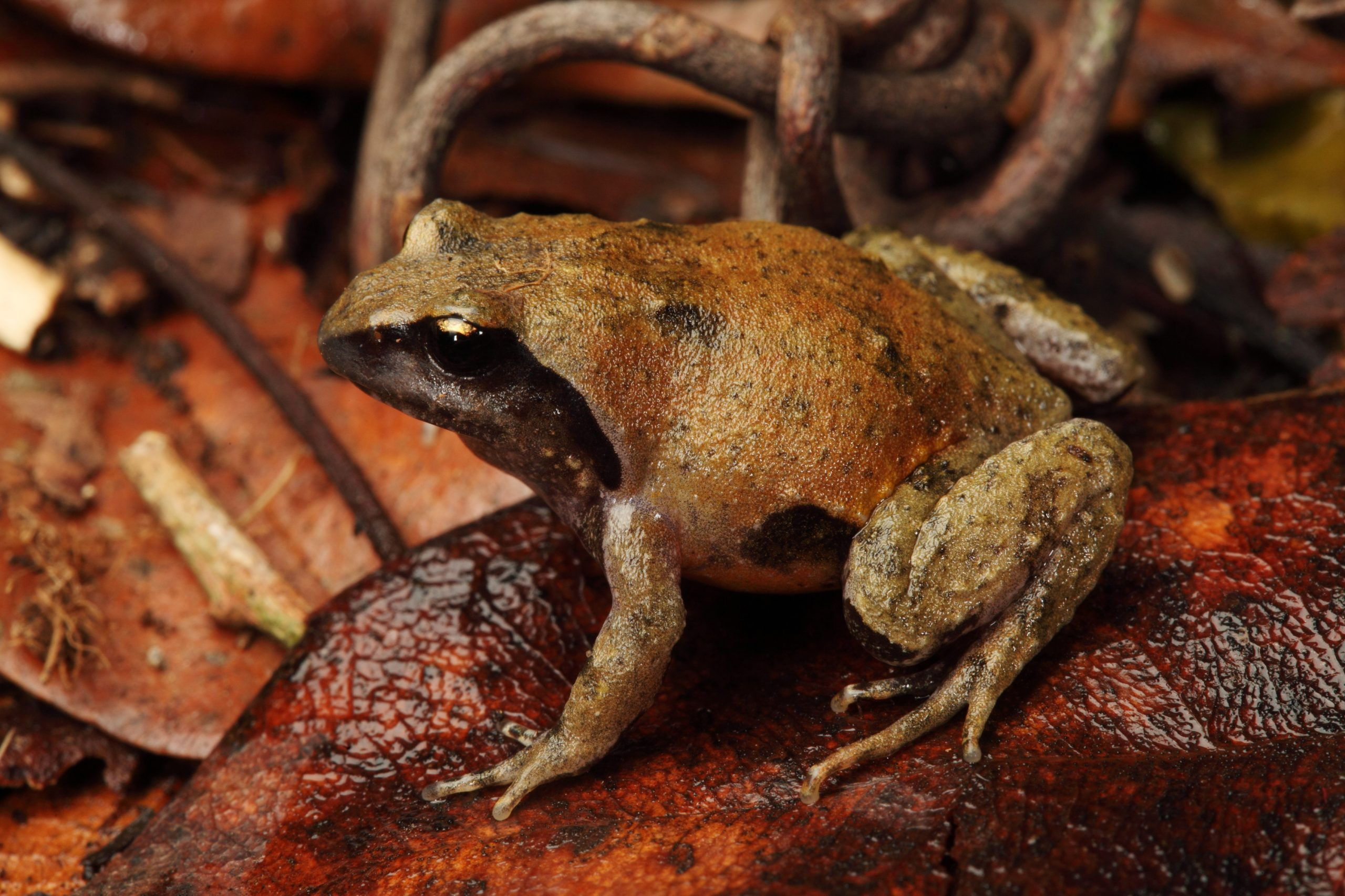 Loveridge's Frog, male