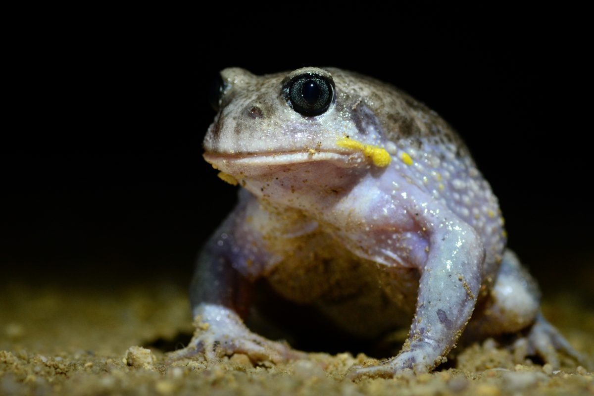 Giant burrowing frog, Heleioporus australiacus. Photo: Ian Bool/DPIE