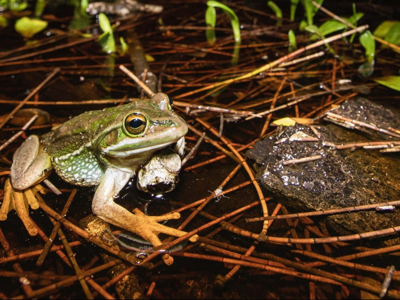 Green and golden bell frog. Photo: Alex Pike/DPIE