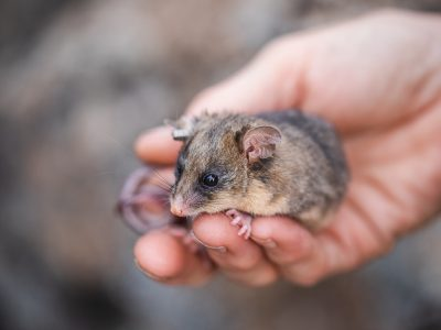 A mountain pygmy-possum in Dr Linda Broome's hand. Photo: Alex Pike/DPIE
