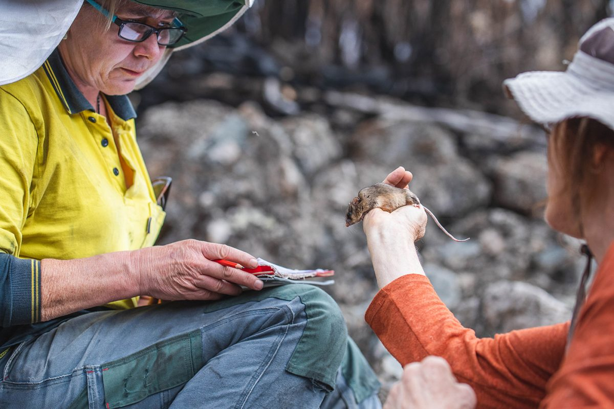 Dr Linda Broome holds a mountain pygmy-possum and shows it to a person. Photo: Alex Pike/DPIE