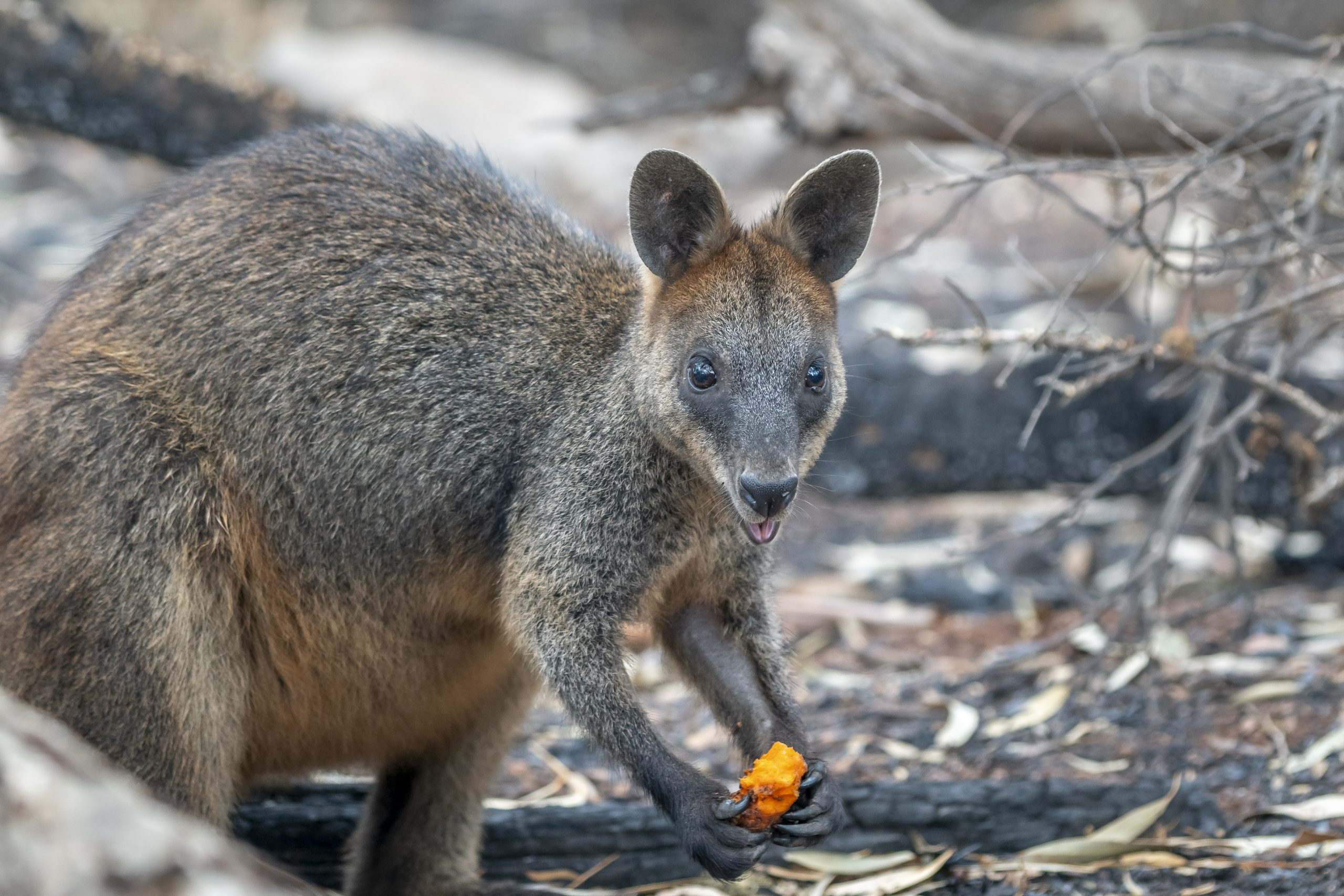 Brushed-tailed rock-wallaby. Photo: John Spencer/DPIE