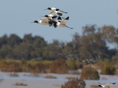 Multiple red-necked Avocet birds in flight at Peery Lake in Paroo-Darling National Park. Photo: Dirk Hovorka