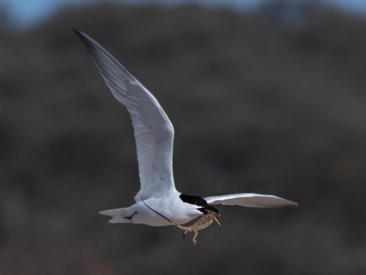 Gull-billed tern (with a Military Dragon)