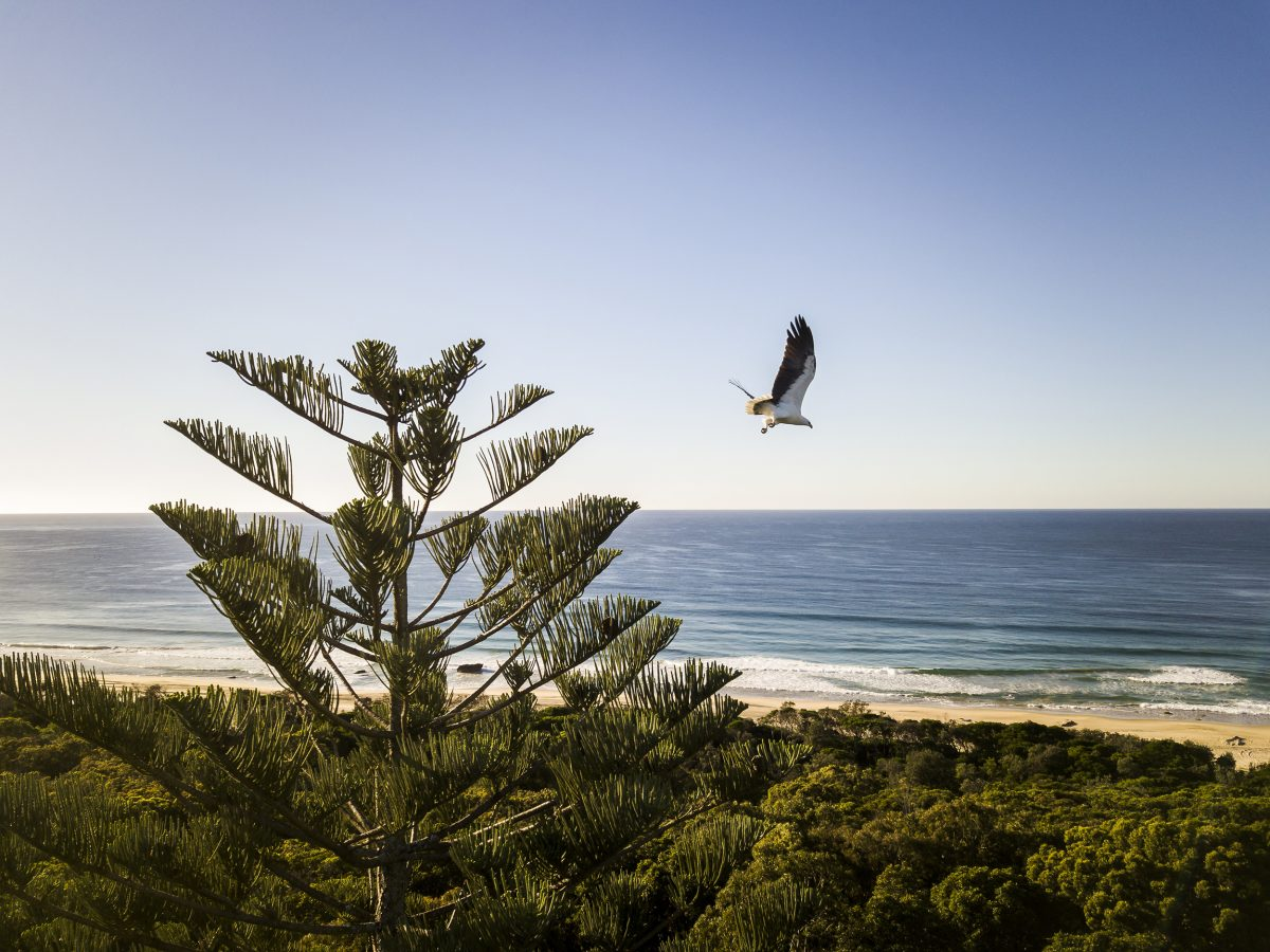 White-bellied sea eagle near Tuckers Rocks cottage, Bongil Bongil National Park. Photo: John Spencer/DPIE
