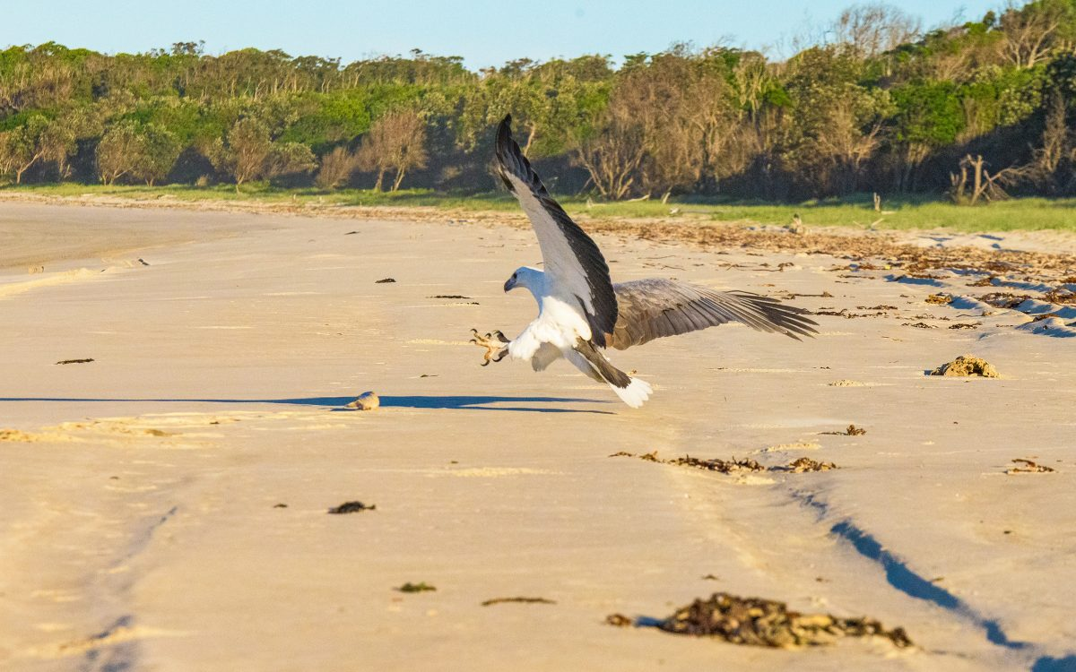 White-bellied sea eagle swoops on prey at Shark Bay, Bundjalung National Park. Photo Jessica Robertson/DPIE