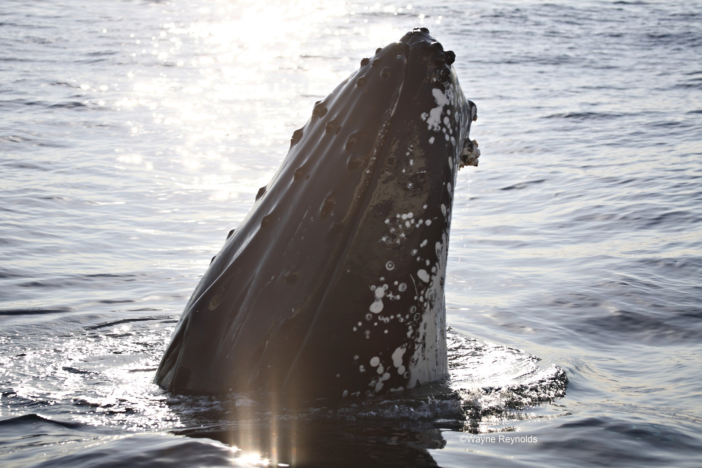 Humpback whale, Megaptera novaeangliae rostrum covered with knobs cetaceans