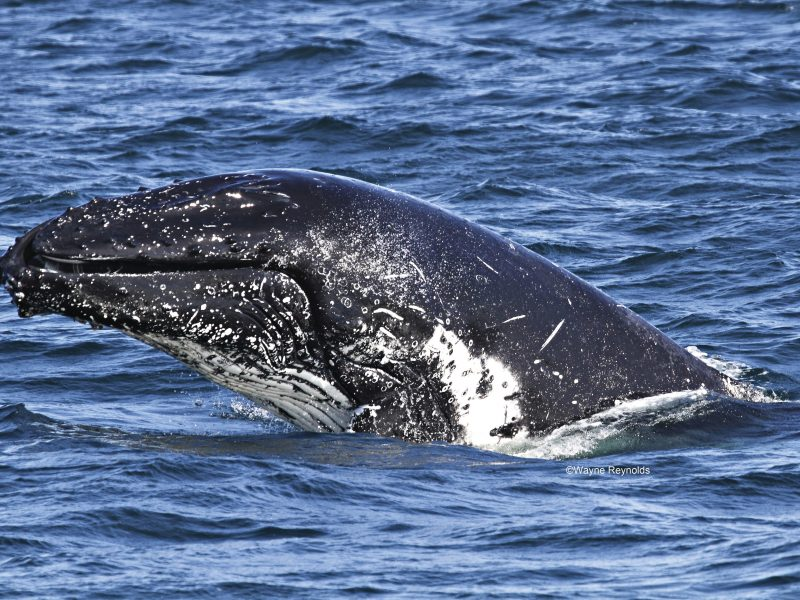 Humpback whale, Megaptera novaeangliae rostrum covered with knobs cetaceans. Photo: Wayne Reynolds/DPIE