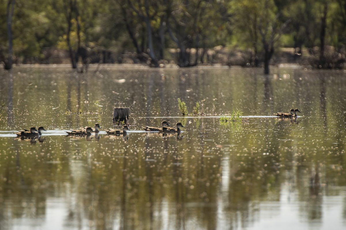 Grey Teal, Mid Murray River
